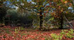 foliage del castagno(foto C. Mascia)