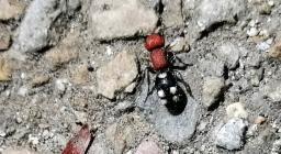formica velluto (foto Myriam Collu, presso Bagantinus)
