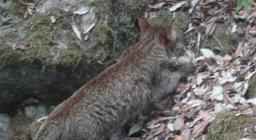 foto4 gatto sardo dal sito PNR Gutturu Mannu
