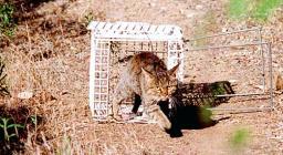 foto5 gatto sardo dal sito PNR Gutturu Mannu