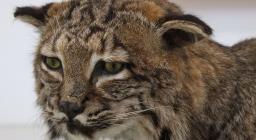 gatto-selvatico-sardo_preparato tassidermico esposto a Iglesias