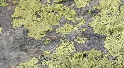 lichene su roccia