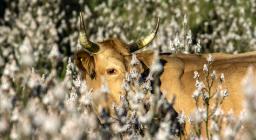 mucca al pascolo a maggio tra i rami di asfodelo (foto Cristian Mascia)