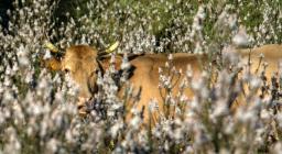 mucche al pascolo a maggio tra i rami di asfodelo (foto Cristian Mascia)