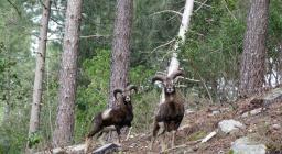 Mufloni adulti sul Limbara nord (Foto R.Serra)