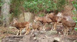 Gruppo di femmine con neonato muflone a Monte Lerno (foto RobertoSerra)