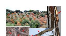 phytosfora nella quercia da sughero