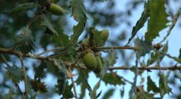 roverella foglie e ghiande (foto SDL)