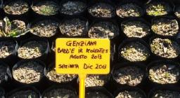semina genziana nei vivai conservazionistici di Forestas