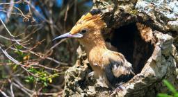 upupa nel nido