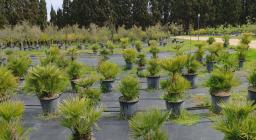 vivaio produttivo di Bagantinus -produzione di palma (Foto Alessio Saba)