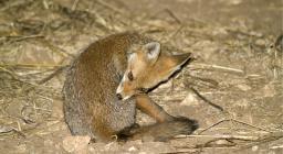 Una volpe sarda (foto su SardegnaDigitalLibrary)