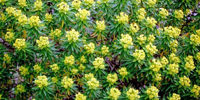 Euphorbia dendroides (foto Brotzu) 2