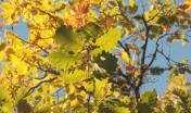 Rami di roverella, colori autunnali dal bosco di Settefratelli