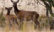 Monte Paulis, cervo sardo
