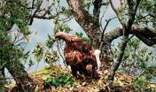 Esemplare di aquila reale nel suo nido