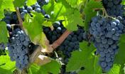 Vite e grappoli d'uva  - foto R. Brotzu in digital Library