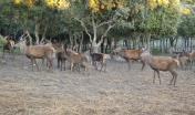 Laconi, esemplari di cervo sardo
