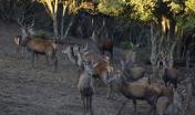 Laconi, esemplari di cervo sardo in località Biancone - foto di M.Mallocci