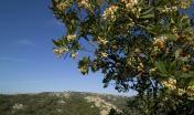 Monte Limbara, corbezzolo, Arbutus unedo - foto in Digital Library