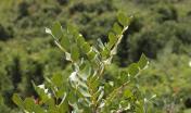 Carrubo - Ceratonia siliqua L.