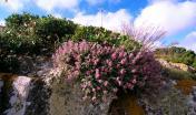 Un cespuglio di Camedrio - foto Ente Foreste in Sardegna Digital Library