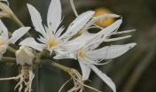 Giglio stella (Pancratium illyricum)