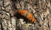 farfalla su corteccia