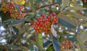 Sorbus aria (Sorbo montano, Wikimedia foto di Julie Anne Workman - CC BY-SA 3.0).jpg