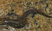 Euprotto - esemplare femmina