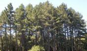 nucleo di Pino nero presso la foresta demaniale di Anela