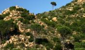 esemplari di Pino domestico a Bidderosa (Orosei)