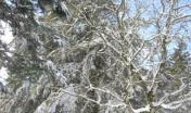 neve su un castagno, gennaio 2011