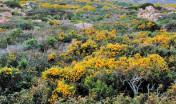 Fioritura Ginestre Asinara
