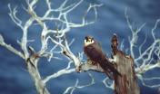 Falco della regina (o Falco Eleonora)