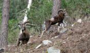 Due maschi adulti di muflone nel recinto di riproduzione del Limbara