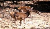 Cervo sardo - A. Chiaramida