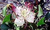 Capparis spinosa L. (ph: G. Lai)