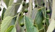 Bagolaro Celtis australis L. (f.to G. Lai)