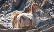 Due mufloni femmine. Punta Salippi o Nasaccio