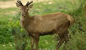 Giovane esemplare di Cervo sardo
