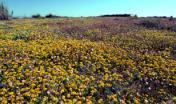 Sinis, campo fiorito