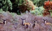 Esemplari femmine di Cervo sardo