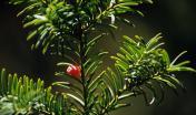 Sos Nibberos: un ramo di Tasso con arilli