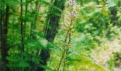 Limodorum abortivum nel sottobosco
