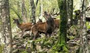 Cervo sardo in Bramito (foto Domenico Ruiu)