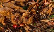 frutti del Castagno su foliage (Cristian Mascia)