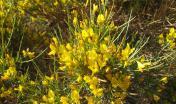 Genista_salzmannii scattata in Corsica a Calvi (foto wikimedia)