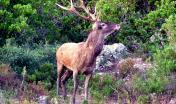 Cervo Sardo tra la macchia di corbezzoli, a Villasalto (Forestas, settembre 2019)