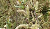 Salix pedicellata (di Krzysztof Ziarnek, Kenraiz  licenza CC BY-SA 4.0)